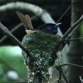 写真: 営巣中