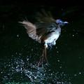 写真: サンコウチョウ♀水浴び