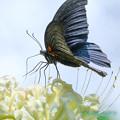 Photos: クロアゲハと白い彼岸花