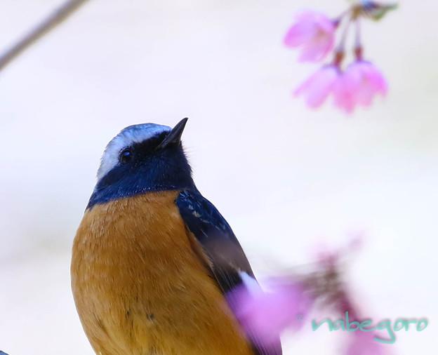 ジョビ桜-5