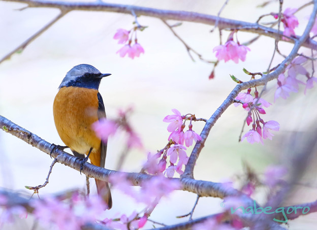 ジョビ桜-6