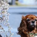 Photos: ワン桜