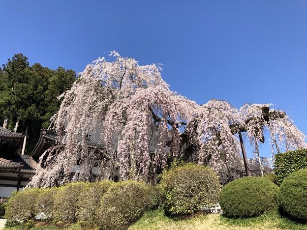 身延山の春