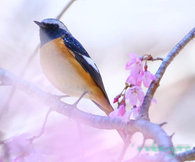 ジョビ桜-3