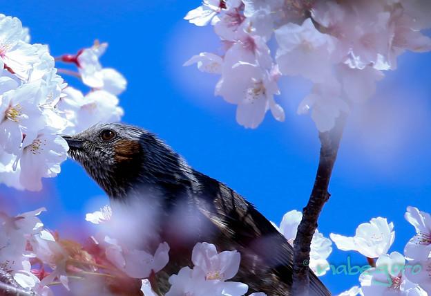 ヒヨ桜-3