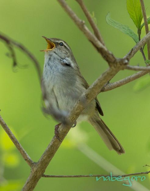 Photos: 春告鳥-3