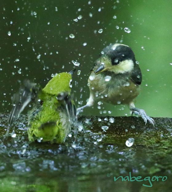 ヤマガラ幼鳥&メジロ-2
