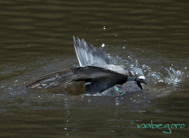 ハトの水浴び