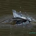 Photos: ハトの水浴び