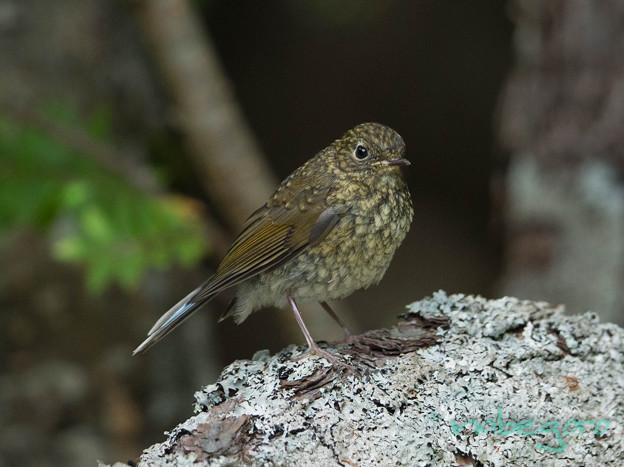 ルリ幼鳥-2