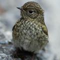 ルリ幼鳥-34