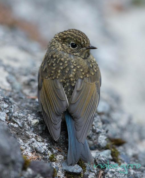 ルリ幼鳥-27