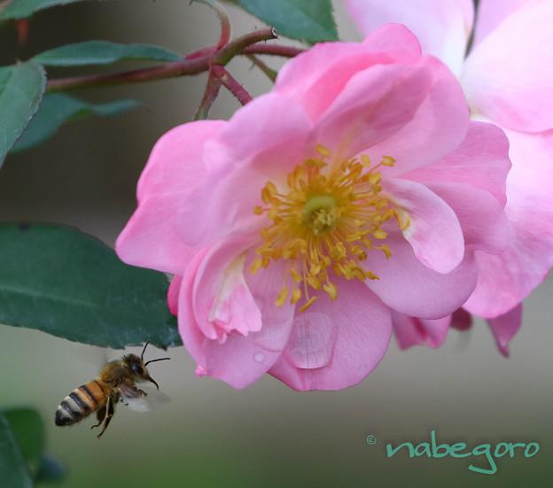 Photos: 薔薇-11