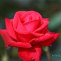 Photos: 薔薇-2