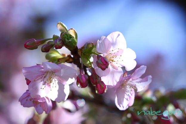 Photos: 春よ恋
