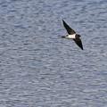 池の上を飛ぶツバメ