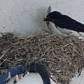 写真: ツバメの巣作り_4