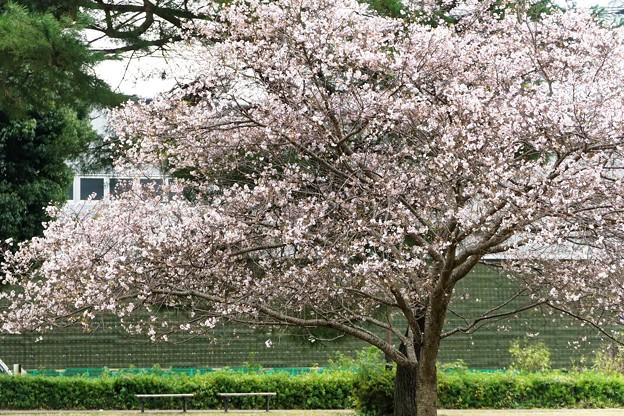 10月桜_1