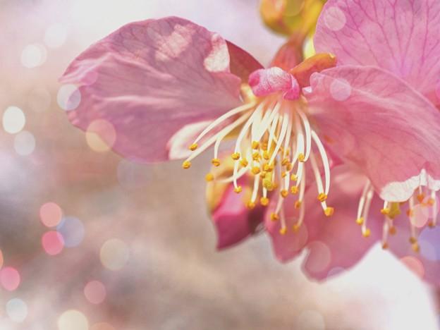 春が来た! 河津桜