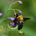 Photos: せっせと働くクマンバチ
