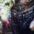 ヨコヅナサシガメの巣穴