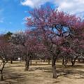 Photos: 公園の梅林_1