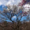 Photos: 公園の梅林_3