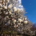 Photos: 公園の梅林_4