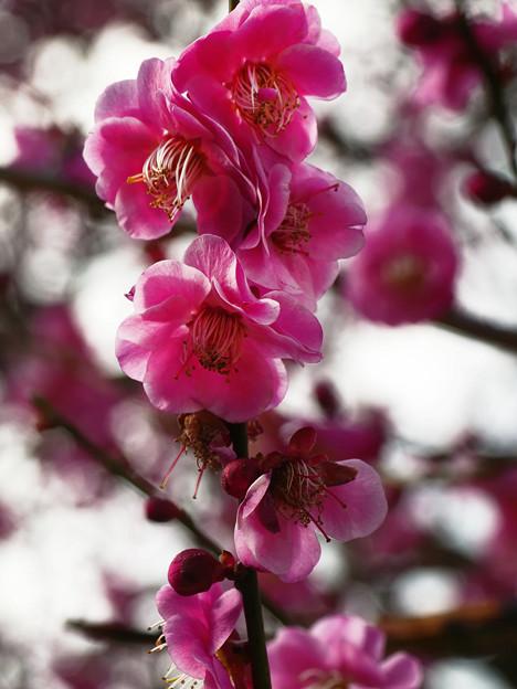 花マクロ 紅梅