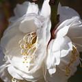 花マクロ 白梅