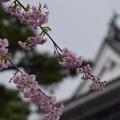 写真: 桜と岡崎城