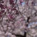 写真: 枝垂れる桜の後ろに満開桜