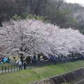 Photos: 町内会のお花見かな?