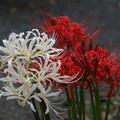 Photos: 紅白の彼岸花