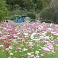 コスモスが咲く丘
