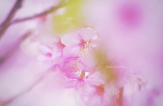Photos: sakura0