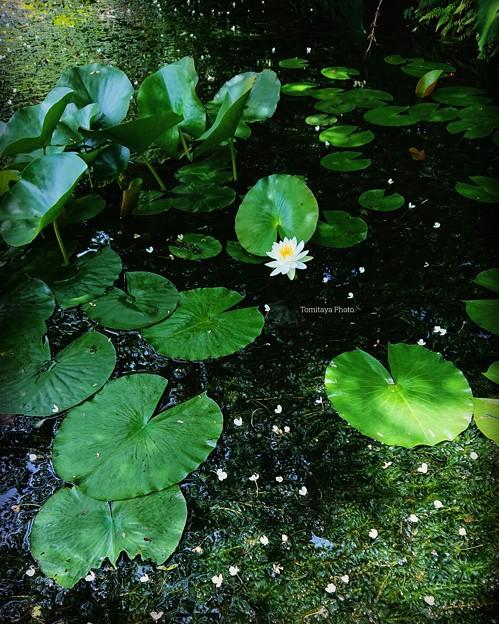 バイカモスイレン初夏の水