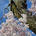 Photos: 老木に