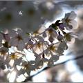 Photos: 春の夕暮れに