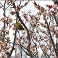 写真: 梅が枝に