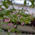 Photos: 萩の露