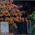 写真: 桜もみじ