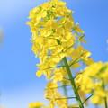 Photos: 菜の花1