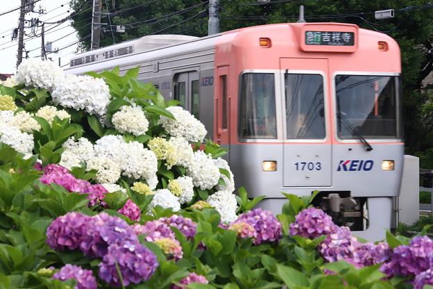 紫陽花列車