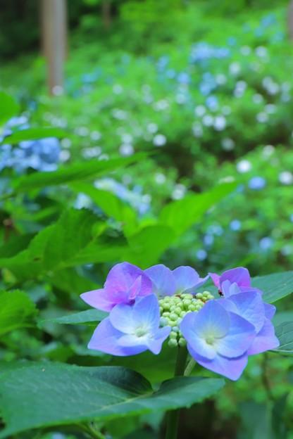 青の群生地