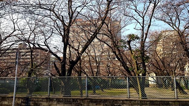 【昨日の大都会岡山】岡山市北区大供本町の桜だらけの某公園はまだだった・・・。_ト ̄|○