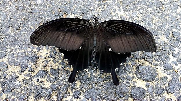 【昨日の大都会岡山】モンキアゲハかな? 黒い蝶々って死んだ人の魂がうんちゃらって「あなたの知らない世界」で見たような・・・