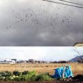 【今日の大都会岡山】カラスがヒッチコックの「鳥」位に沢山飛んできた! 天変地異の前触れかよ!w