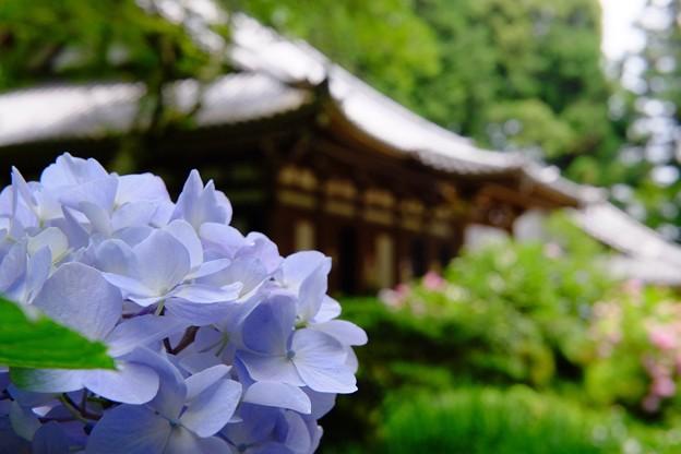 岩船寺 紫陽花2018