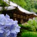 Photos: 岩船寺 紫陽花2018